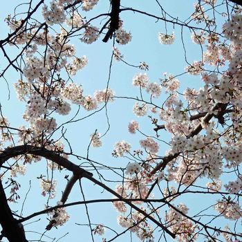桜DSCN6579.jpg