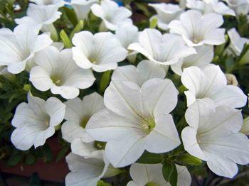 白い花R0155795.jpg