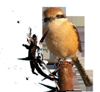 百舌鳥.png