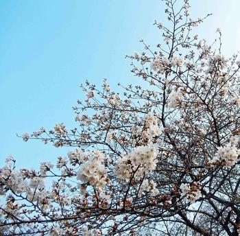 ソメイヨシノDSCN9910.jpg