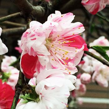 斑入り桜.jpg