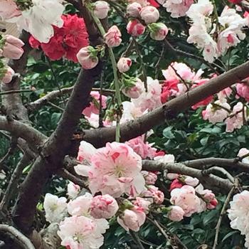 斑入り桜2.jpg