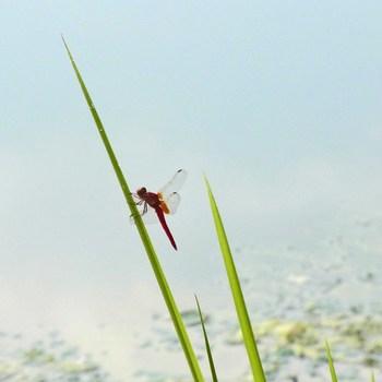 赤蜻蛉aR0155441 2.jpg
