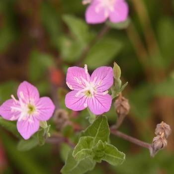 雑草の花R0156048.jpg