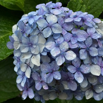青い紫陽花6743.jpg